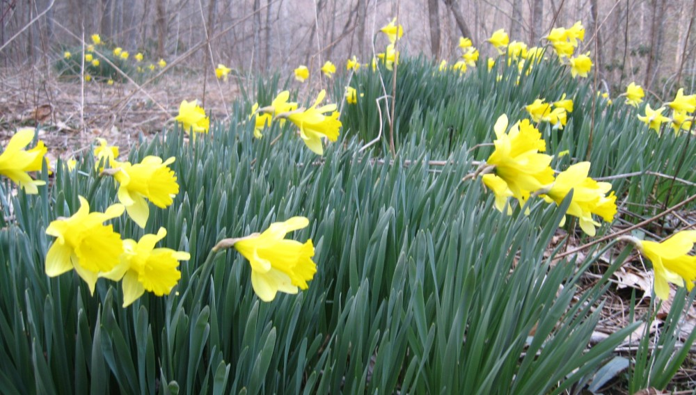 Early spring daffodils in the Blue Ridge Mountains